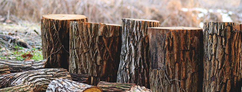 a row of cut logs sit on the ground